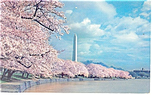 Washington Monument and Cherry Blossoms  Postcard 1964 (Image1)