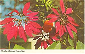 Florida s Colorful Poinsettias  Postcard p13447 1967 (Image1)