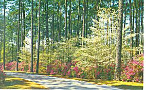 Azalea and Dogwood Georgia Postcard p13675 1971 (Image1)
