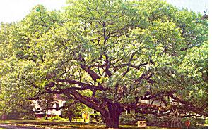 Thomasville GA The Big Oak Postcard p13677 1961 (Image1)