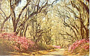 Spanish Moss in Louisiana Postcard p13813 (Image1)