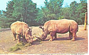 White Rhinos, Catskill Game Farm, NY Postcard 1970 (Image1)