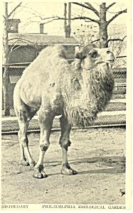 Dromedary Philadelphia Zoo Postcard p13894 (Image1)