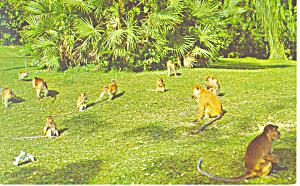 Monkeys in the Waterfall Gardens Postcard p13905 (Image1)