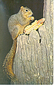 Fox Squirrel Postcard (Image1)