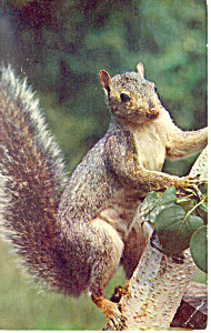 Grey Squirrel Postcard 1961 (Image1)