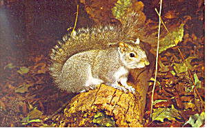 Grey Squirrel Postcard p13970 (Image1)