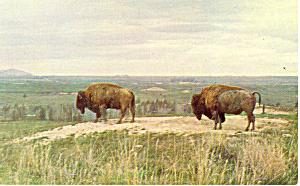 Buffalo  Postcard p13972 (Image1)