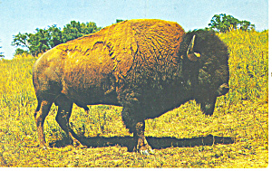 The American Bison Buffalo Postcard p13977 (Image1)