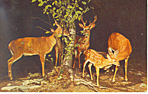 Deer Herd at Night Postcard p13989 (Image1)