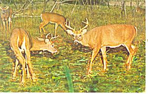 Two Bucks Square Off Postcard p13992 (Image1)