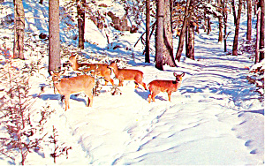Deer in the Deep Woods Postcard 1970 (Image1)