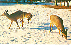 Deer in the snow Postcard p13997 (Image1)