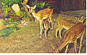 Deer at Silver Springs, FL Postcard (Image1)