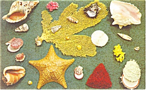 Florida Sea Shells Postcard P14627 1974