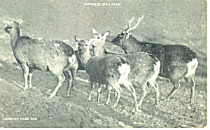 Japanese Sika Deer Postcard p14632 (Image1)