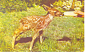 Bottle Fed Baby Deer Postcard (Image1)