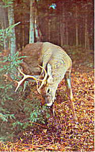 Buck Deer Feeding Postcard (Image1)