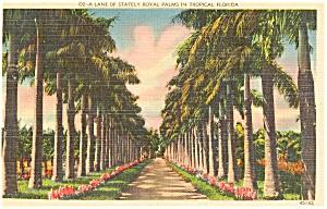 Florida Lane of Royal Palms Postcard p1466 (Image1)