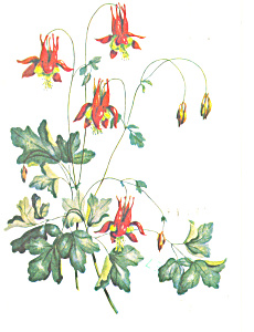 Watercolor Of Columbine Postcard P14710