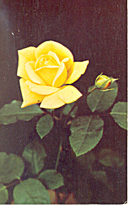 Yellow Hybrid Tea Rose Postcard (Image1)