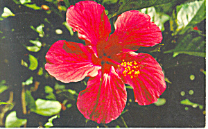 Red Hibiscus in Florida Postcard 1958 (Image1)