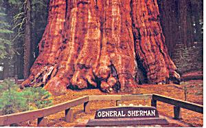 Sequoia National Park CA General Sherman Postcard p14857 (Image1)