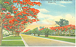 Miami Fl Poinciana Trees Postcard P14932 1941