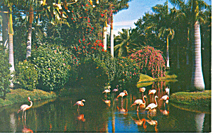 Flamingos Sarasota Jungle Gardens FL Postcard p14943 (Image1)