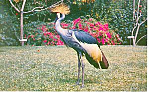 Crane,Sarasota Jungle Gardens, FL Postcard (Image1)
