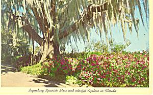 Spanish Moss Winter Park FL Postcard p14964 (Image1)