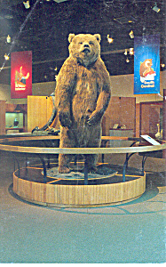 Brown Bear U of Alaska Postcard (Image1)