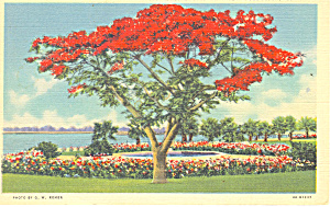 Royal Poinciana Tree Postcard P15094 1937