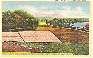 Cape Cod MA Cranberry Plantation Postcard (Image1)