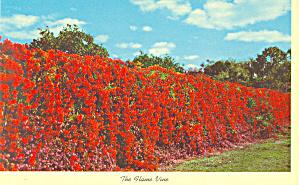 Flame Vine Florida  Postcard p16443 (Image1)