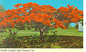 Florida Beautiful Royal Poinciana Tree Postcard P16444