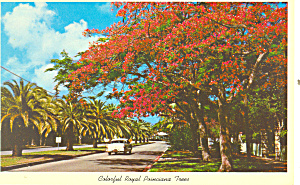 Florida Colorful Royal Poinciana Tree Postcard P16445