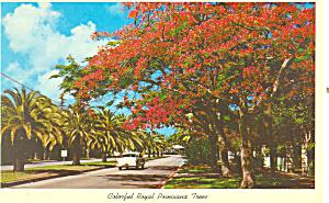 Florida Colorful Royal Poinciana Tree  Postcard p16445 (Image1)