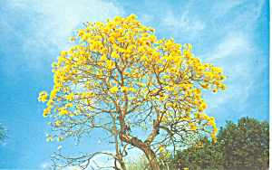 Brazilian Golden Shower Tree, Fl Postcard