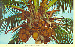 Coconut Tree Loaded With Fruit Fl Postcard P16457