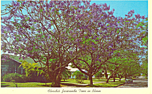 Jacaranda Trees In Bloom FL Postcard p16459 (Image1)