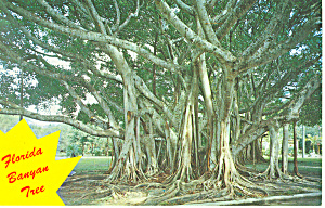 Banyan Tree Fl Postcard P16465