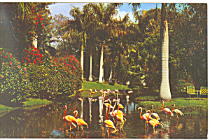 Flamingos,Jungle Gardens, FL Postcard (Image1)