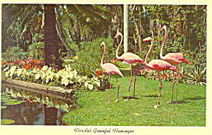 Flamingos  Florida Postcard p16467 (Image1)