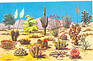 Cactus Of The Great Southwest Postcard P16586