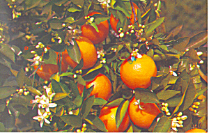 Branch Of An Orange Tree In Bloom Postcard P16606