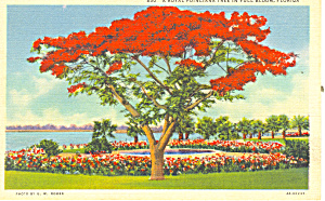 Royal Poinciana Tree Postcard P16747