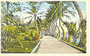 A Beautiful Palm Walk Florida Postcard p16750 (Image1)