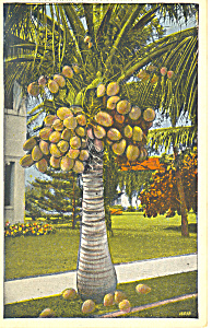Coconut Tree at Sunny Isles Florida Postcard p16752 (Image1)
