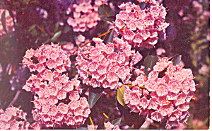 Mountain Laurel, State Flower, PA Postcard 1965 (Image1)